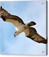 Hunter Osprey Acrylic Print
