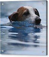 Hunting Dog Acrylic Print