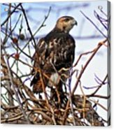 Hunting Red-tailed Hawk Acrylic Print