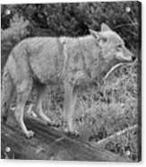 Hunting With Ears Back Black And White Acrylic Print