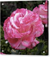 Hurst Castle Rose Acrylic Print