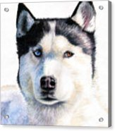 Husky Blue Acrylic Print