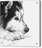 Husky Contemplation Acrylic Print by Sheona Hamilton-Grant