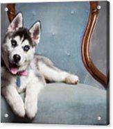 Husky Puppy II Acrylic Print