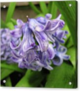 Hyacinth Flowers Acrylic Print by Richard Mitchell