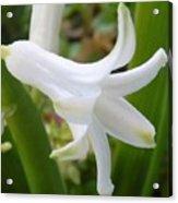 Hyacinth Acrylic Print