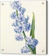 Hyacinth Acrylic Print by Pierre Joseph Redoute