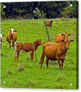 Hybrid Cattle On The Deseret Ranch In East Central Florida Acrylic Print