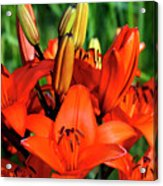 Hybrid Lilies Acrylic Print