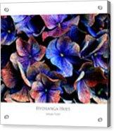 Hydranga Hues Acrylic Print