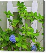 Hydrangea Blooming In October Acrylic Print