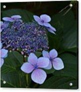 Hydrangea Blue In The Garden Xii Acrylic Print