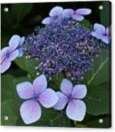 Hydrangea Blue Xi Acrylic Print