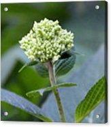 Hydrangea Bud Acrylic Print