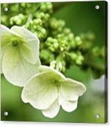 Hydrangea Buds Visit Www.angeliniphoto.com For More Acrylic Print