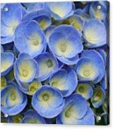 Hydrangea Closeup Acrylic Print