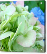Hydrangea Flowers Art Prints Floral Gardens Gliclee Baslee Troutman Acrylic Print