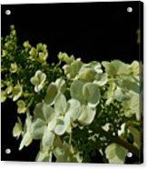 Hydrangea Formal Study Landscape Acrylic Print