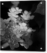 Hydrangea In Black And White Acrylic Print