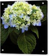 Hydrangea In Bloom Acrylic Print