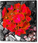 Hydrangea In Carmine Acrylic Print