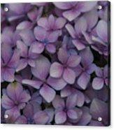 Hydrangea In Lavender 1 Acrylic Print