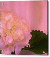 Hydrangea In Pink Acrylic Print