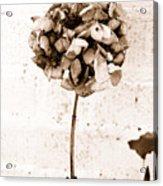 Hydrangea Interest Acrylic Print