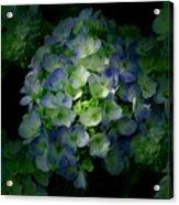 Hydrangea - Flowers Acrylic Print