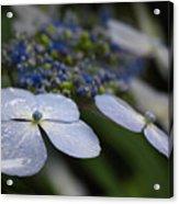 Hydrangea Macrophylla Acrylic Print