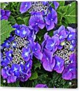 Hydrangea, Macrophylla Teller Acrylic Print