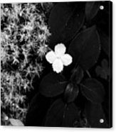 Hydrangea Petiolaris Acrylic Print