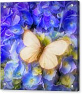 Hydrangea With White Butterfly Acrylic Print