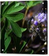 Hydrophyllum Capitatum Acrylic Print