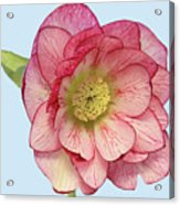 I Am Christmas Rose Acrylic Print