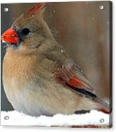 I Just Can't Resist The Beauty Of A Cardinal In The Snow Acrylic Print