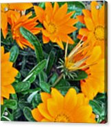 I Love Orange Flowers Acrylic Print
