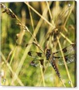 I Spy A Dragonfly Acrylic Print