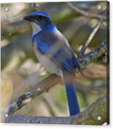 I Think I Found The Blue Bird Of Happiness Acrylic Print