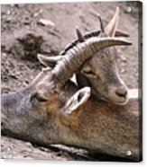 Ibex Mother And Son Acrylic Print