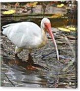 Ibis At Corkscrew Swamp Acrylic Print