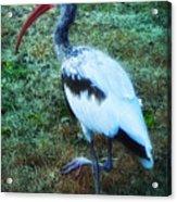 Ibis Acrylic Print