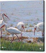 Ibis Excursion Acrylic Print