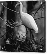 Ibis In Black And White  Acrylic Print