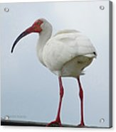 Ibis In The Morning Acrylic Print