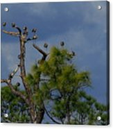 Ibis In The Pines - Debbie May Acrylic Print
