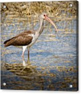 Ibis In The Rough Acrylic Print