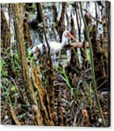Ibis In The Swamp Acrylic Print