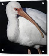 Ibis Pose Acrylic Print