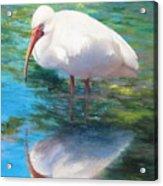 Ibis Reflection Acrylic Print